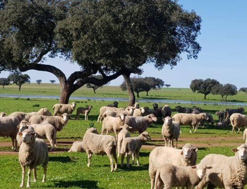 AGRO – UPA UCE propone que las ayudas al ovino y al caprino se mantengan un mes después de finalizar el estado de alarma