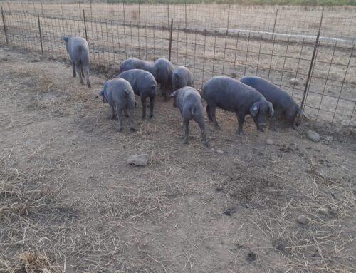 FERIA DE ZAFRA – AECERIBER analizará el sector del ibérico con ganaderos en la segunda jornada virtual de la feria.