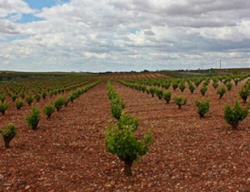 "ALMENDRALEJO – La cosecha de uva finaliza ""con una merma de un 30 %"""