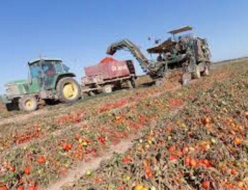 AGRO – APAG Extremadura Asaja y UPA-UCE mantendrán una reunión con las organizaciones de productores del Tomate para solicitar contratos justos para los agricultores