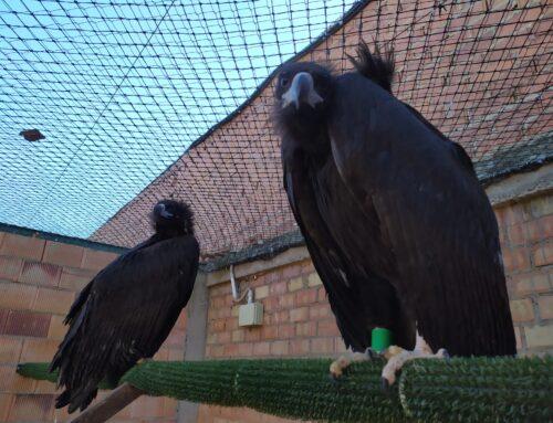 MEDIO AMBIENTE – La Asociación conservacionista AMUS envía este próximo lunes Buitres Negros para Bulgaria