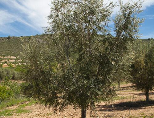 """AGRO – UPA sobre el nuevo decreto de calidad del aceite de oliva: """"El campo necesita que este sea solo un primer paso"""""""