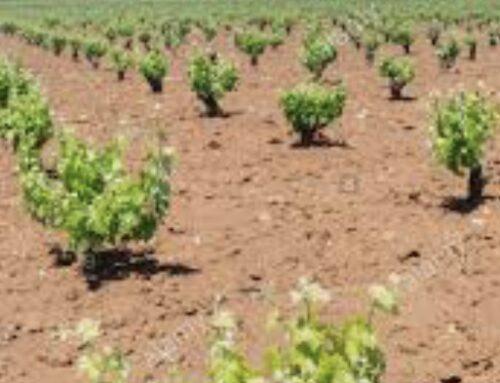 AGRO – La Consejería de Agricultura abona otros 3,5 millones de euros del programa de apoyo al vino extremeño